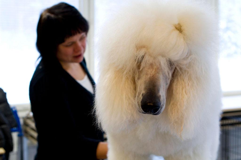 Eläintenhoitajaopiskelija hoitaa isokokoista koiraa.