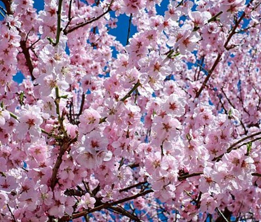 Kirsikkapuun kukkivia oksia sinistä taivasta vasten.