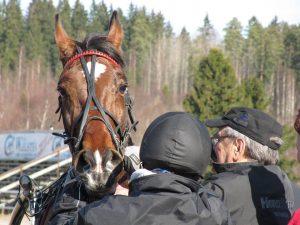 Hevosen maitohapon mittaus
