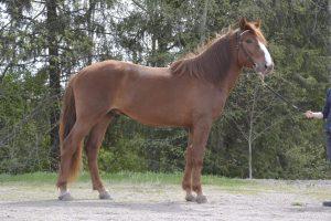 Hevonen sivusta