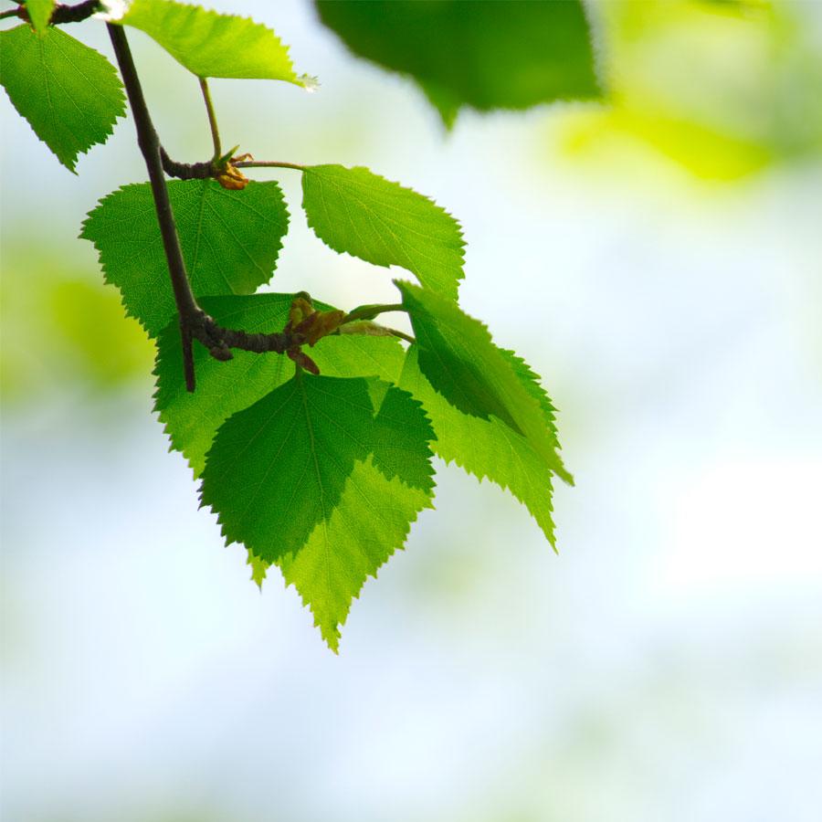 Koivunoksassa vihreitä lehtiä.