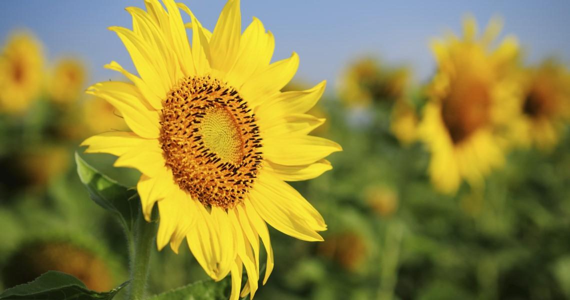 """""""auringonkukkia pellolla"""""""