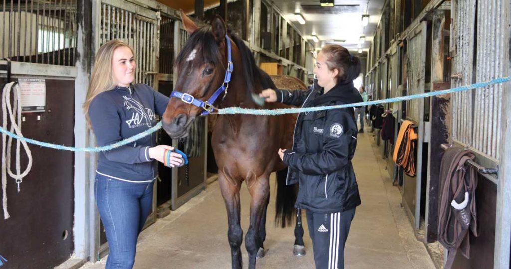 Kaksi opiskelijaa sukii hevosta tallissa