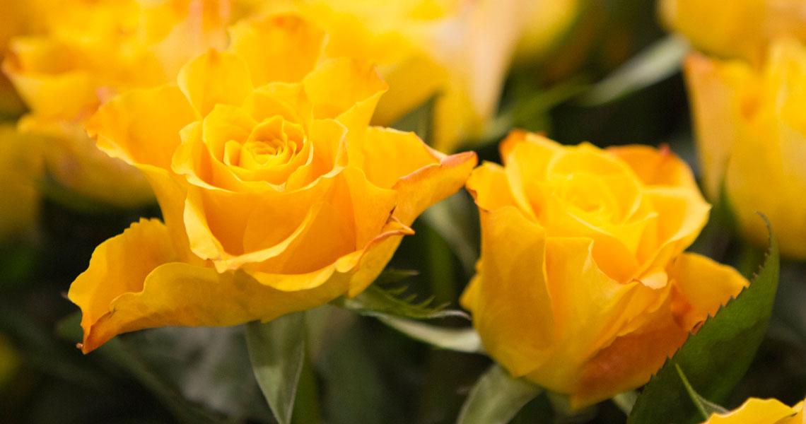 Keltaisia ruusuja